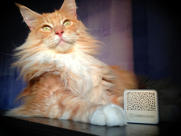 Epic the Maine Coon cat with CubeSensors
