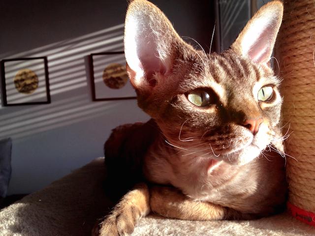 Devon Rex cat enjoying the summer sun